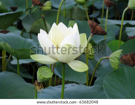 white lotus flower and seedpods