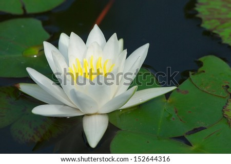white lotus flower blooming in garden - stock photo