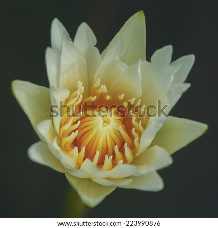 white lotus flower blooming in pond with dark background, thailand - stock photo