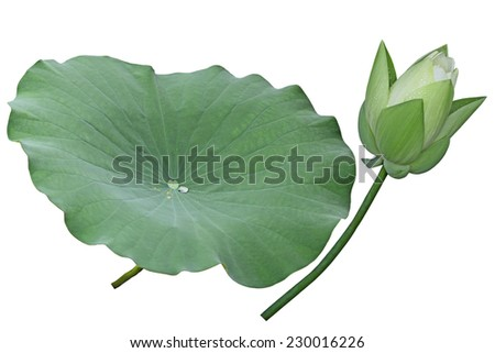 White lotus flower bud and leaf isolated on background - stock photo
