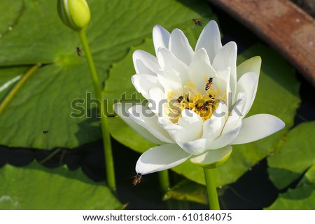White lotus flower on lakeclose beautiful stock photo 610184075 white lotus flower on the lakeclose up beautiful lotus and bees nature wallpaper mightylinksfo Choice Image