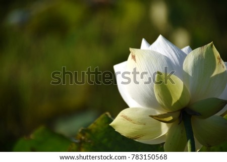 White lotus flower scientific name nelumbo stock photo image white lotus flower scientific name nelumbo nucifera geartn mightylinksfo