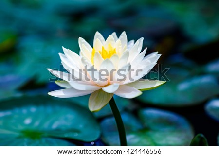 White lotus flower with green in  blue water  - stock photo