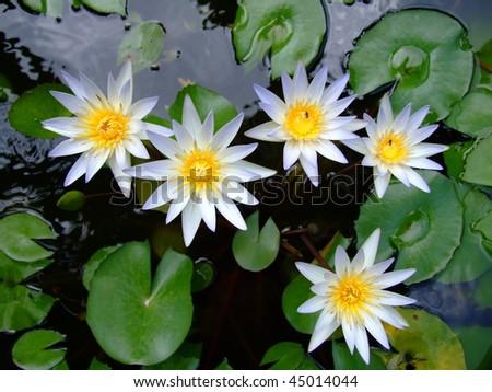 White lotus flowers, Thailand. - stock photo