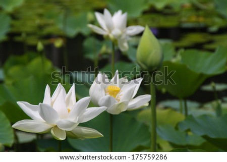White lotus in the botanical garden in Pamplemousses, Mauritius - stock photo