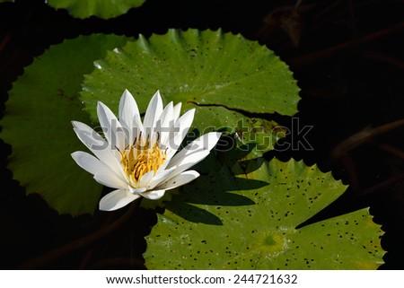 White lotus in the pond - stock photo