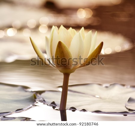 White lotus in the pond in the evening. - stock photo