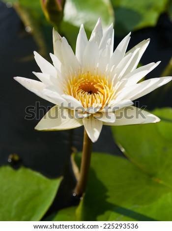 white lotus on the pond - stock photo