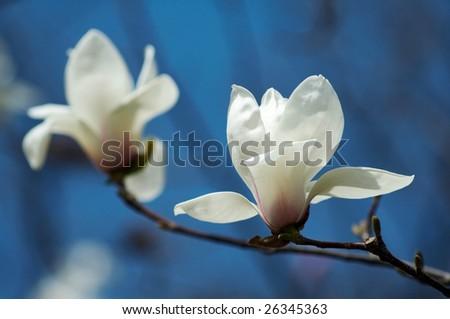 white Magnolia - stock photo