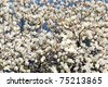 white magnolia blossoms floral natural background of spring Jeju island of Korea - stock photo