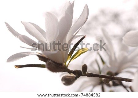 White Magnolia Flowers on a branch - stock photo