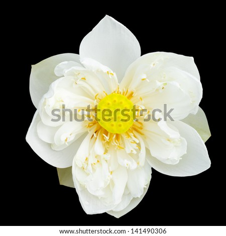 White majestic lotus on black background - stock photo