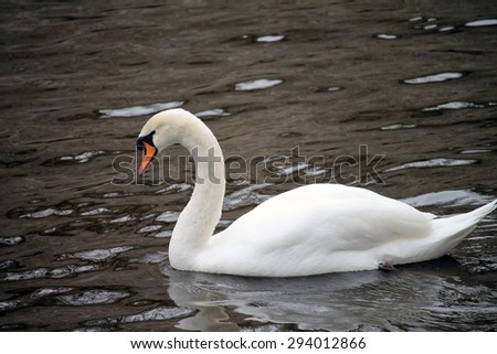 White male swan on water - stock photo