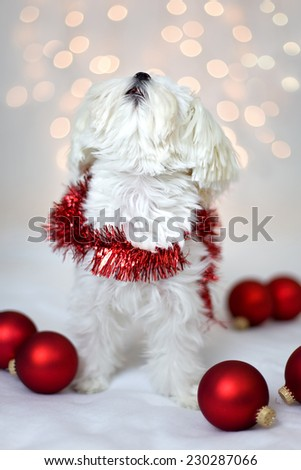 White Maltese Dog in Christmas scarf
