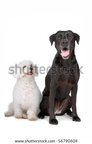 white maltese dog sitting nearby black labrador retriever dog, isolated on a white background - stock photo