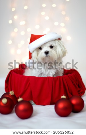 White Maltese Dog wearing Santa hat