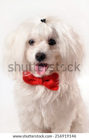 White Maltese dog with red bow and rose isolated on white background. Dog shows tongue  - stock photo