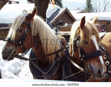 White Maned Horses - called Haflinger - stock photo