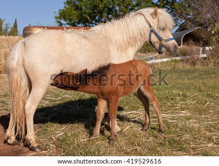 White mare and brown colt nursing in a meadow