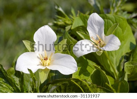White marsh flower with three petals Crow eye