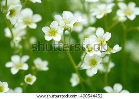 White meadow saxifrage saxifraga spring meadow stock photo 400544452 white meadow saxifrage saxifraga spring meadow flowers mightylinksfo