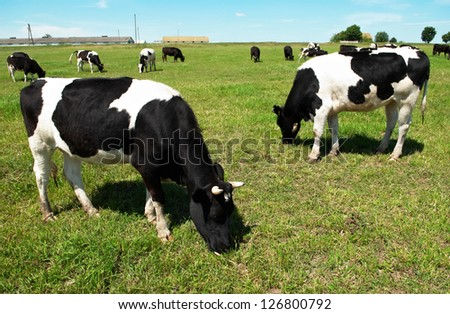 White milch cow with black spots grazing on green grass pasture over blue sky - stock photo