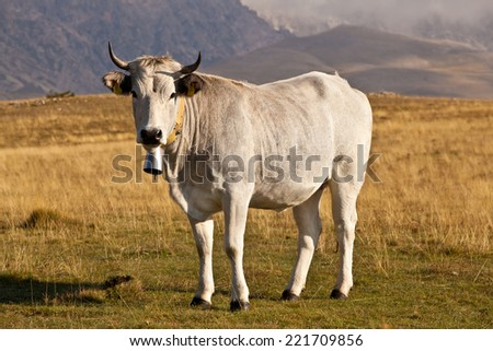 White milk cow overlooking beautiful vista on meadow in the European Apennines