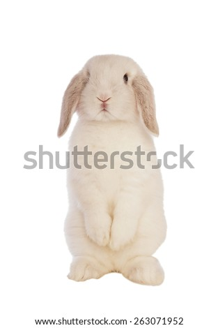 White Mini lop bunny rabbit standing up on back legs isolated on white background