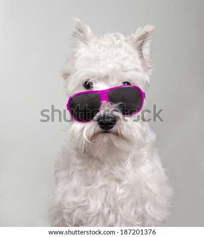 white miniature schnauzer dog with pink sunglasses