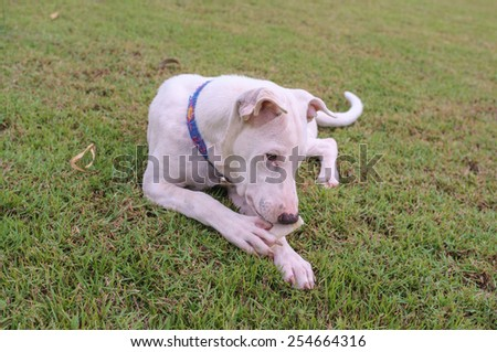 white mixed breed dog playing with bone - stock photo