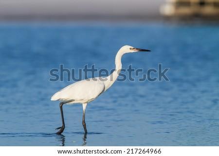 White Morph Reddish Egret, Egretta rufescens - stock photo
