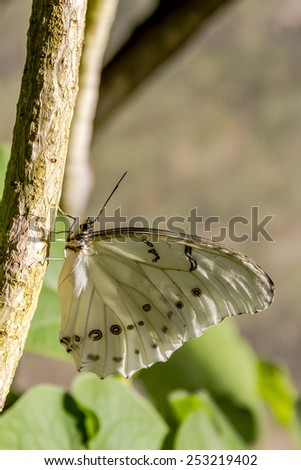 White morpho butterfly hanging onto tree branch in early morning sunlight