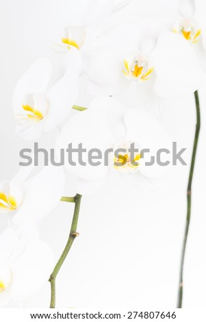 White Moth orchids close up over white background - stock photo