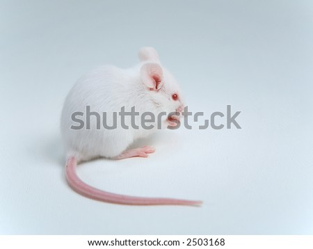 White mouse eating on white background