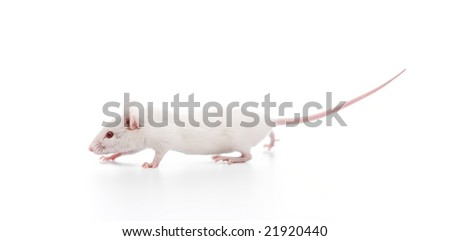 white mouse isolated on a white background - stock photo