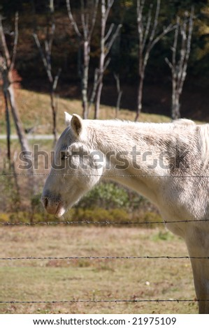 White Mule in a ranch