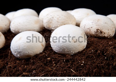 White mushrooms growing over black soil. Isolated over black background - stock photo