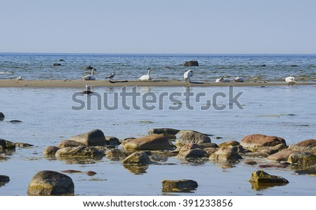 White mute swans and seagulls on the sand island near the coastline of the Baltic Sea