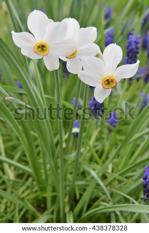 White narcissus bloom, beautiful spring flower.