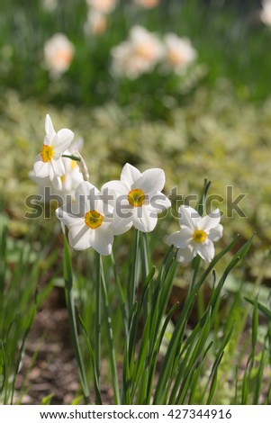 White narcissus in spring day close up - stock photo