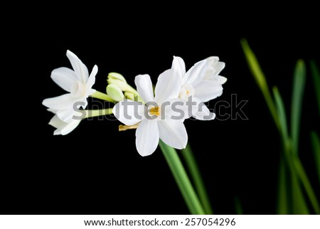 White narcissus isolated on black - stock photo