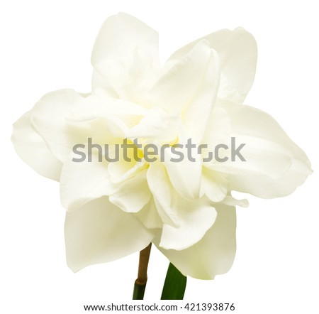 White narcissus isolated on white background. Flowers card