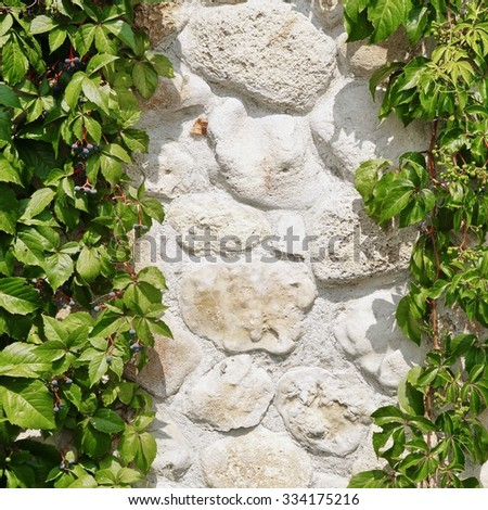 White Natural Outdoor Limestone Wall Hidden In Hanging Wild Grape Vines Background With Copy Space - stock photo