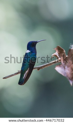 white-necked jacobin hummingbird sitting on branch in Costa Rican green jungle