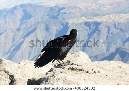 White-necked raven in Simien mountains. Ethiopia - stock photo