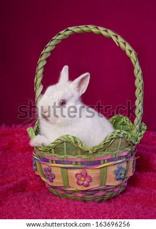 White Netherland Dwarf Bunny Rabbit on hot pink background in Easter basket