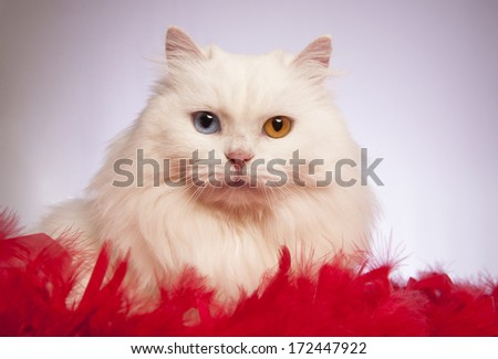 White odd eyed cat lying down on red and white