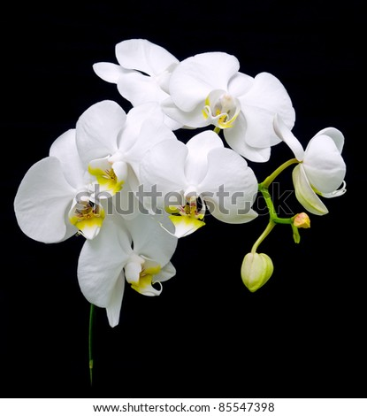 White orchid blooms. Close-up on a black background. - stock photo