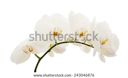 white orchid flower isolated on white background - stock photo