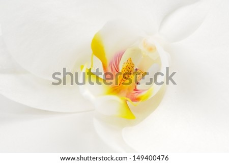 White Orchid Flower Macro - stock photo